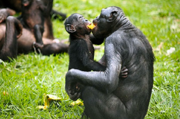 Sharing Bonobos. Photo credit: Duke University